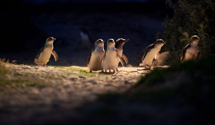 Penguin Parade_11 (full res).jpg