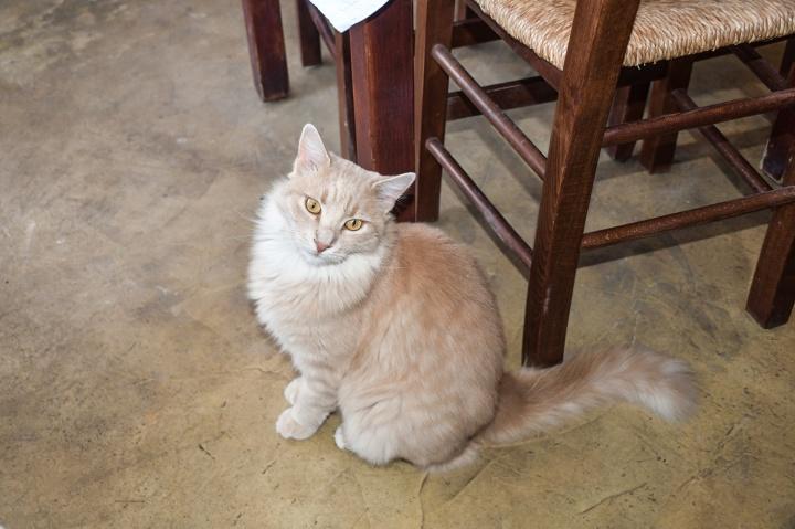 metaxi mas santorini resident fluffy cat.jpg